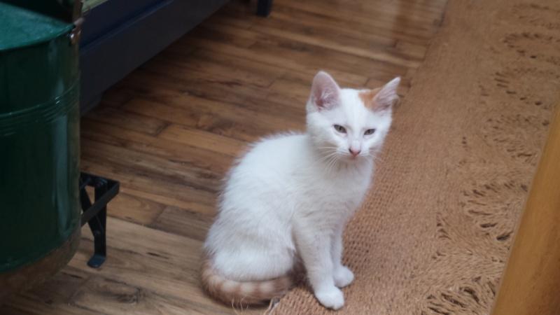 mozart - Mozart, chaton blanc et roux né le 23/03/2016 Mozart10