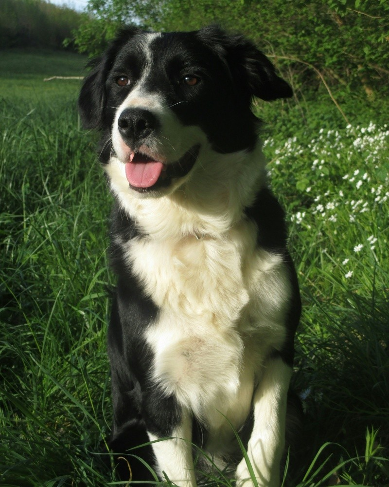 Loucha, border collie Img_2018