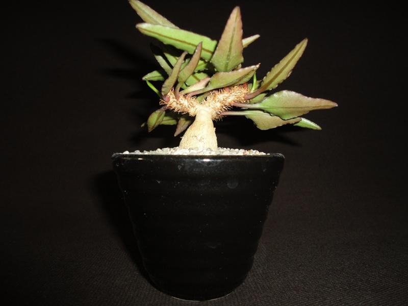 Euphorbia francoisii - Page 6 Dsc03038
