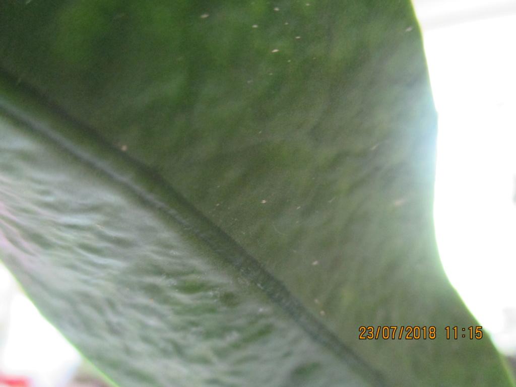 Weiße leicht vertiefte Blattflecken - Hoya onychoides Img_6010