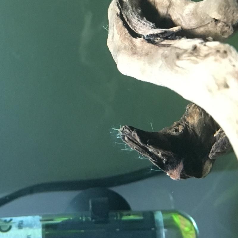 Chose étrange sur ma racine et les parois de mon aquarium Image10