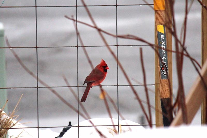 Cardinal sous la pluie  Image100