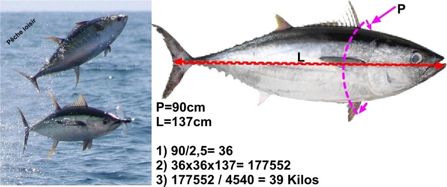 Le rapport Taille/Poids du thon rouge Mesure11