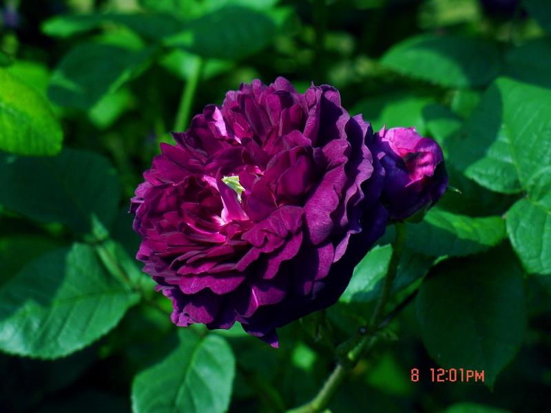 Visite de la roseraie de la Malmaison - Page 3 Dsc00911