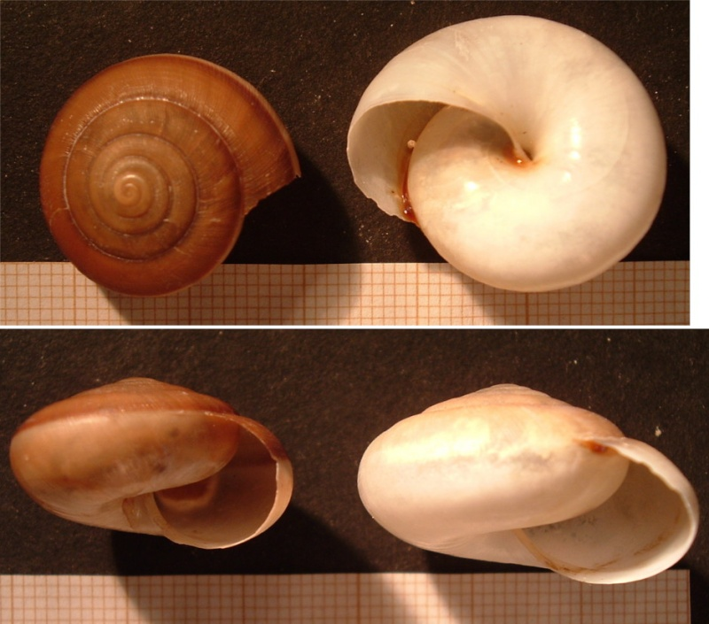 Hemiplecta cf. distincta (Pfeiffer, 1851) ?? Koh_sa12