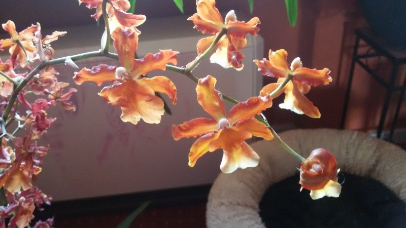 Zwei Orchideen benötigen Identifikation...  20160410