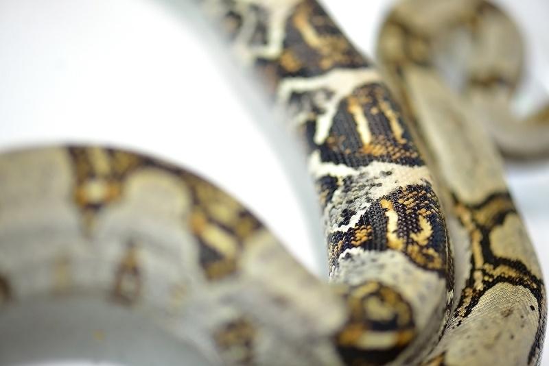Boa Constrictor Longicauda Boa_co10