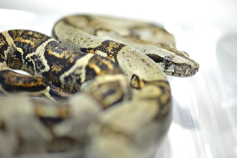 Boa Constrictor Longicauda Boa_co12
