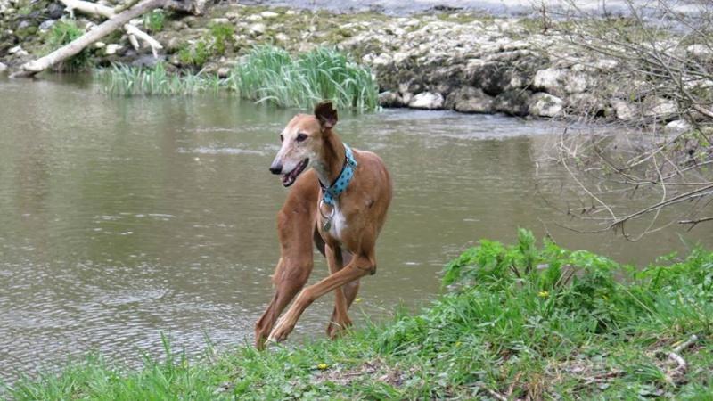 Kika galga 7 ans 1/2 marron  Scooby France  Adoptée  - Page 5 12991010