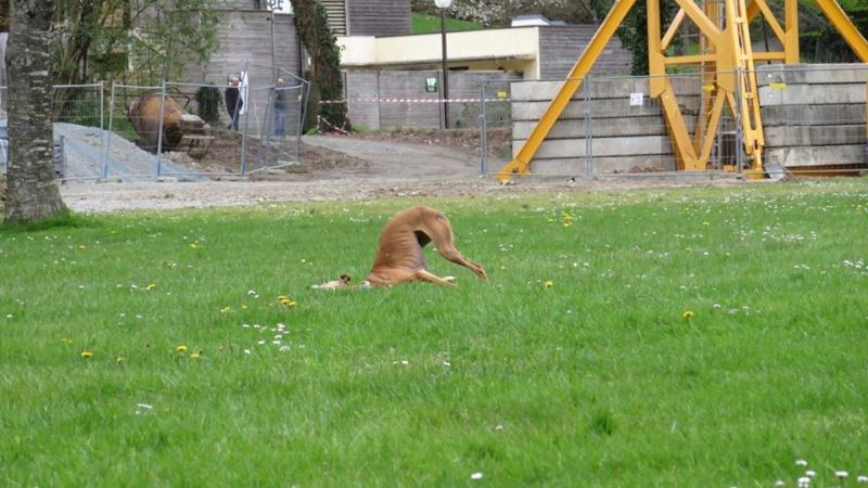 Kika galga 7 ans 1/2 marron  Scooby France  Adoptée  - Page 5 12998711