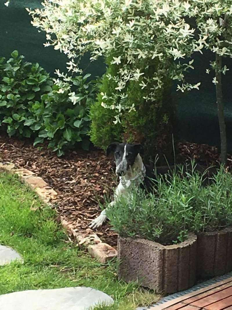 Alina douce galga noire et blanche, 10 ans Scooby France Adoptée 13324410