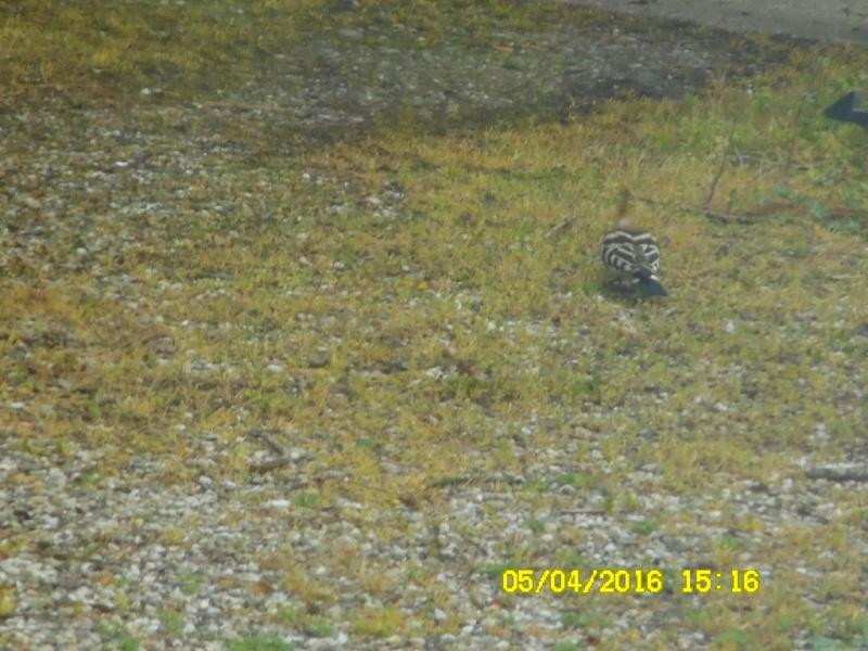 les oiseaux et petites bêtes au cours de nos balades - Page 39 Sam_0248