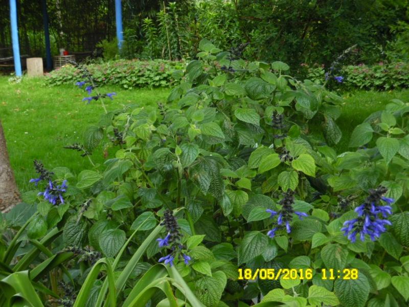 Salvia - les floraisons du moment - Page 16 Sam_0572