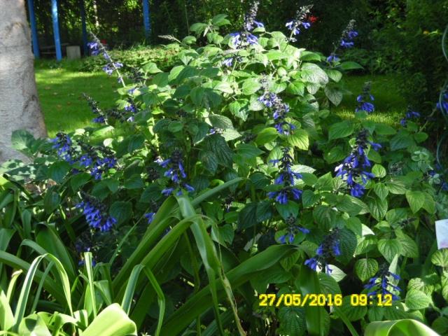 Salvia - les floraisons du moment - Page 16 Sam_0573
