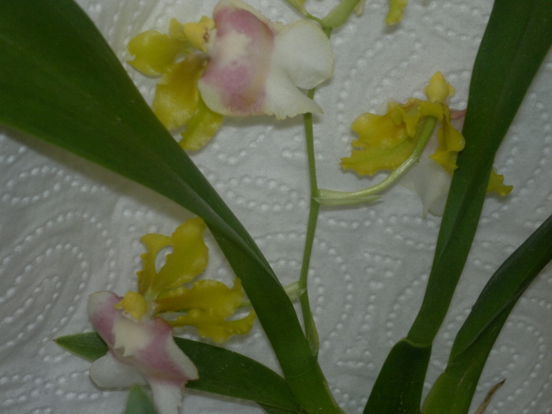 Oncidium fuscatum Oncidi10