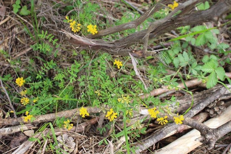 flore des Cévennes Aq10