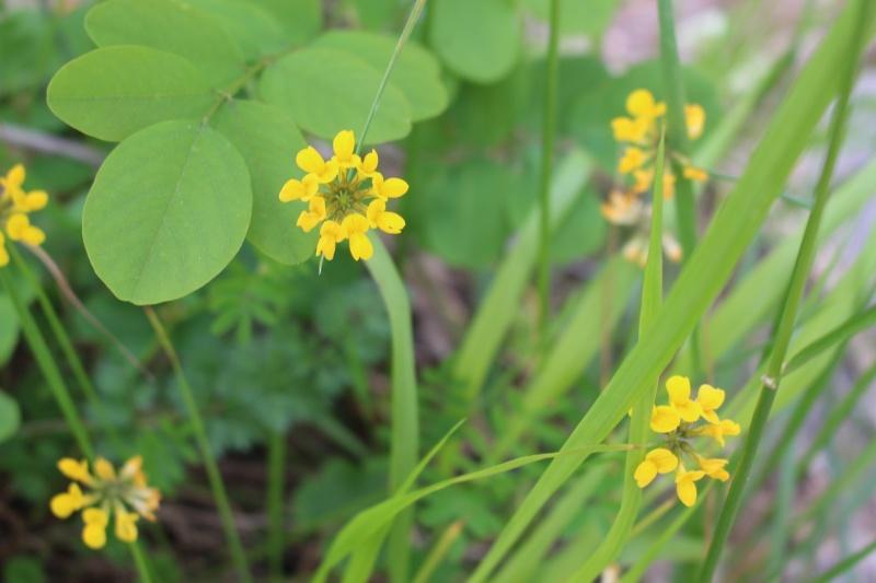 flore des Cévennes Ar10