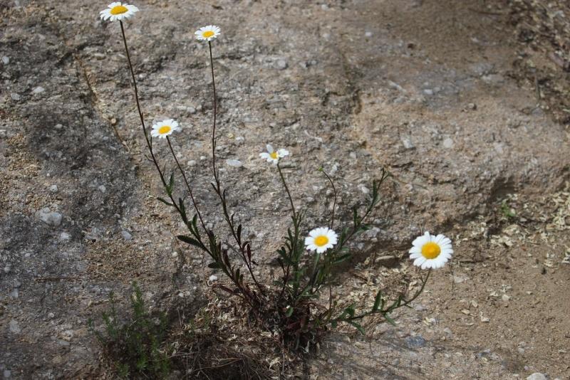 flore des Cévennes Asq10
