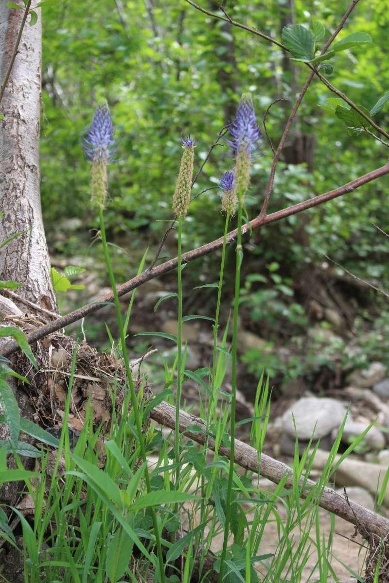 flore des Cévennes Bleu10