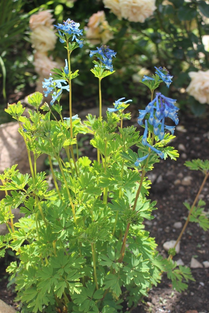 Corydalis flexuosa et hybrides Coryda10