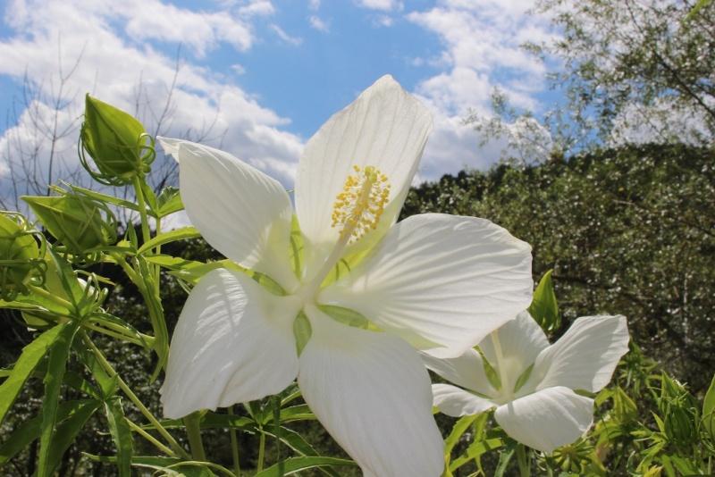 Hibiscus coccineus - Page 2 Cxcwxc10