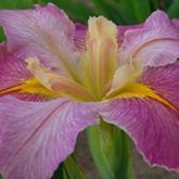 Iris louisiana - iris de Louisiane - une collection Fqefqe10
