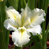 Iris louisiana - iris de Louisiane - une collection Fsfsdf10