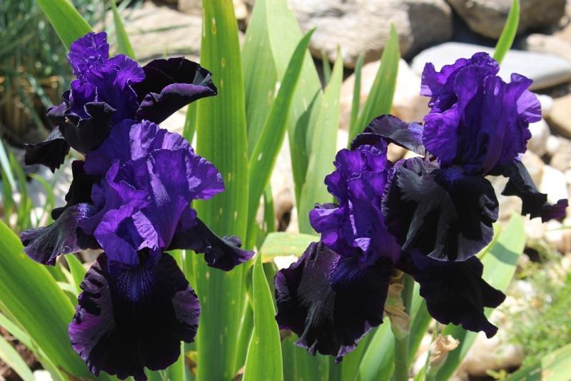 Floraisons 2016 de nos grands iris barbus et Bilan - Page 4 Inconn11