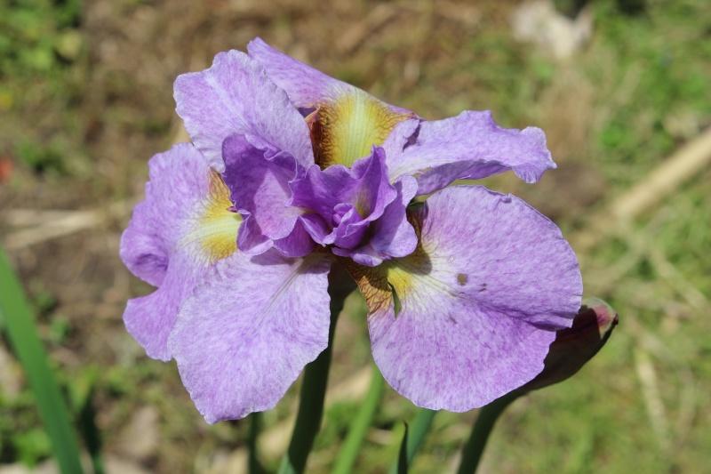 Iris sibirica 'Kita No Seiza' Iris_b10