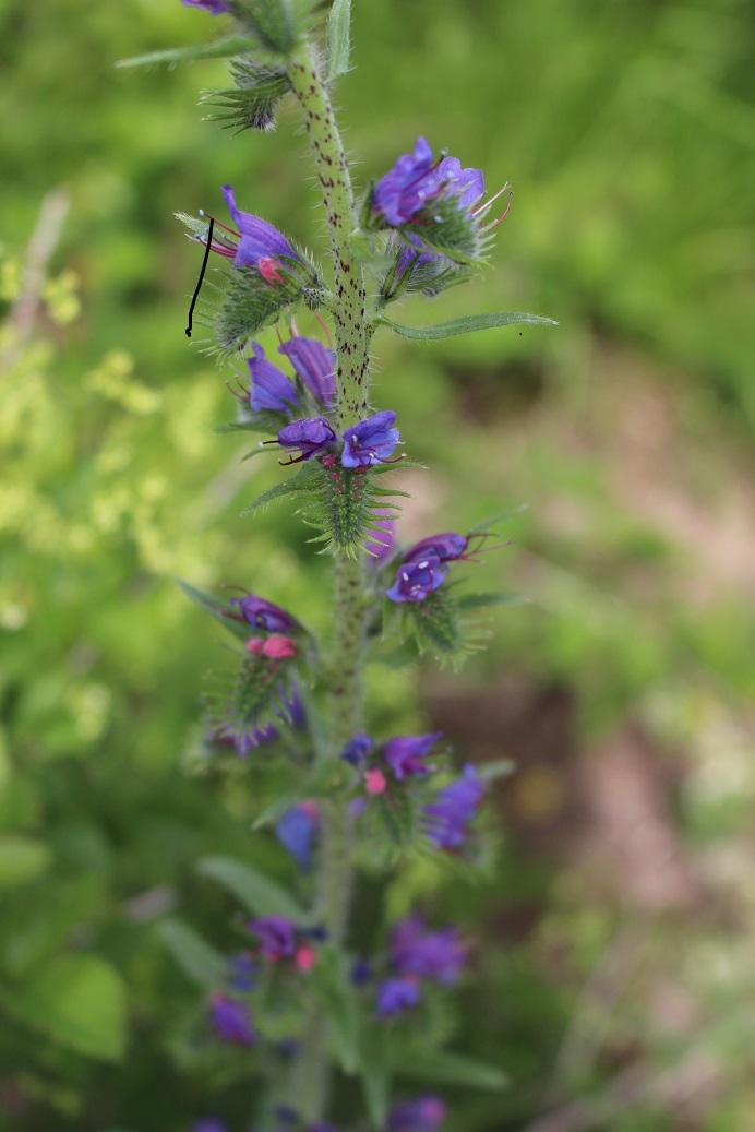 flore des Cévennes Viperi10