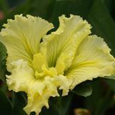 Iris louisiana - iris de Louisiane - une collection Wfdwgw10