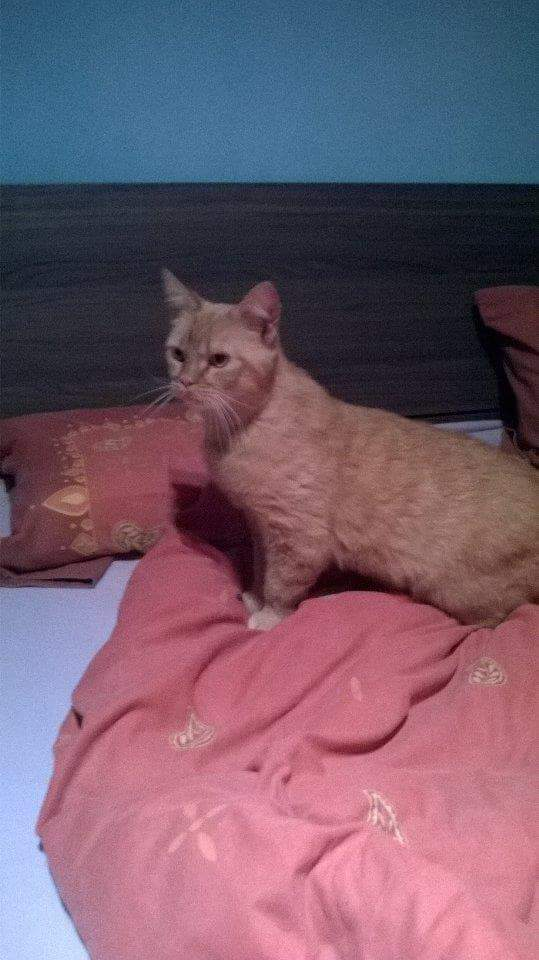 WITCH, très belle chatte de 2 ans roux clair typée British Receiv10