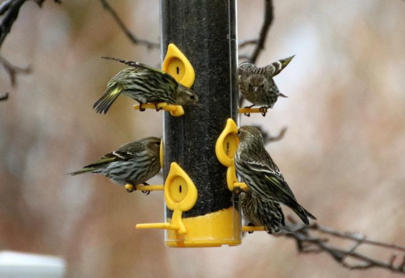 Invasion de tarins des pins Belle_12