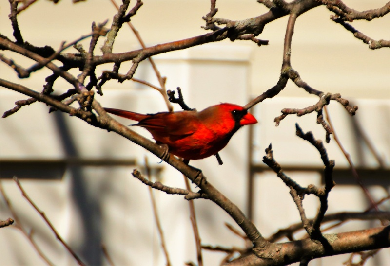 Cardinal rouge Belle_22