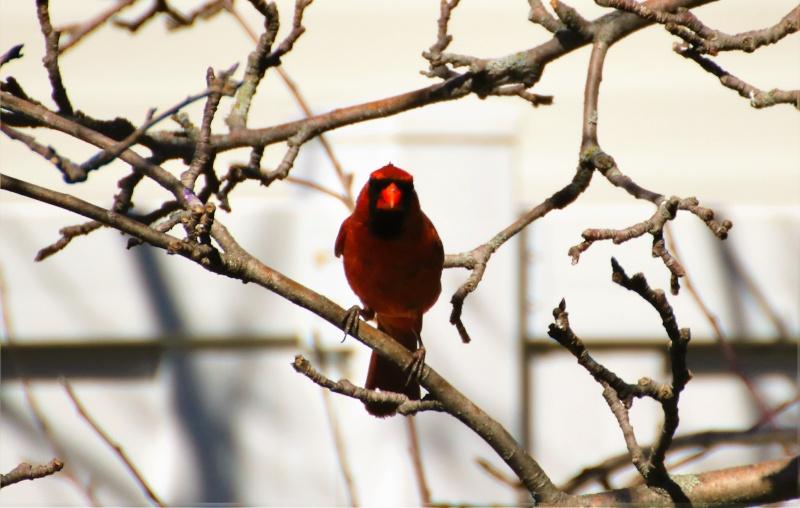 Cardinal rouge Belle_23