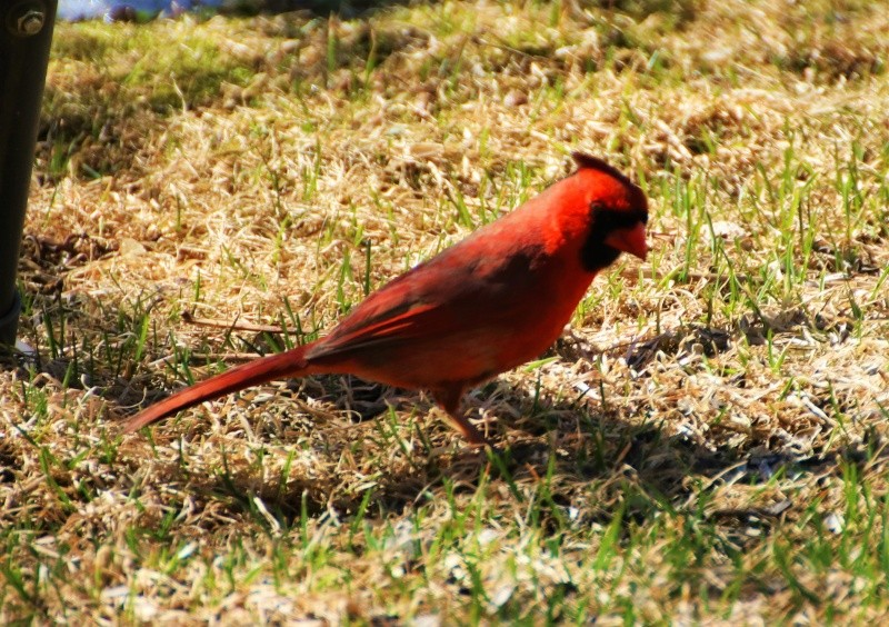 Cardinal rouge Belle_24