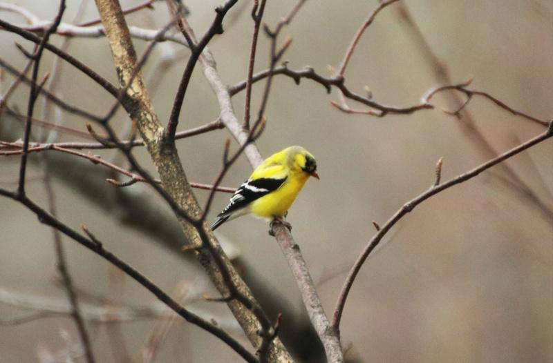 Chardonneret jaune Belle_25