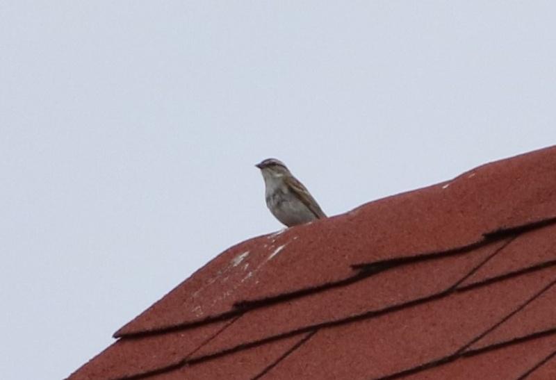 Oiseau mystère Img_5311