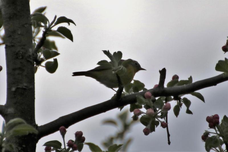 Aide pour identifier cet oiseau Oiseau12