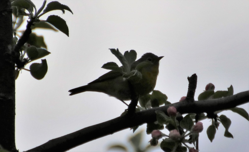 Aide pour identifier cet oiseau Oiseau13