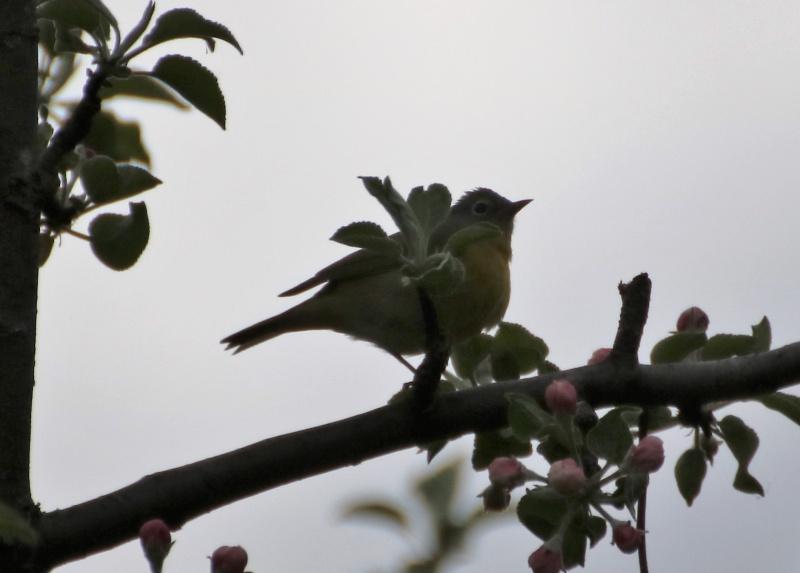 Aide pour identifier cet oiseau Oiseau14