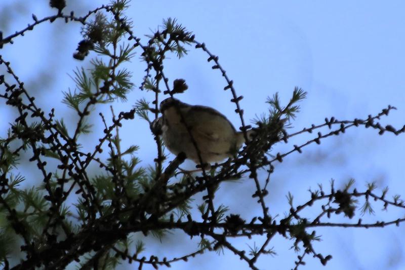 Quelles espèces de parulines ? Oiseau15