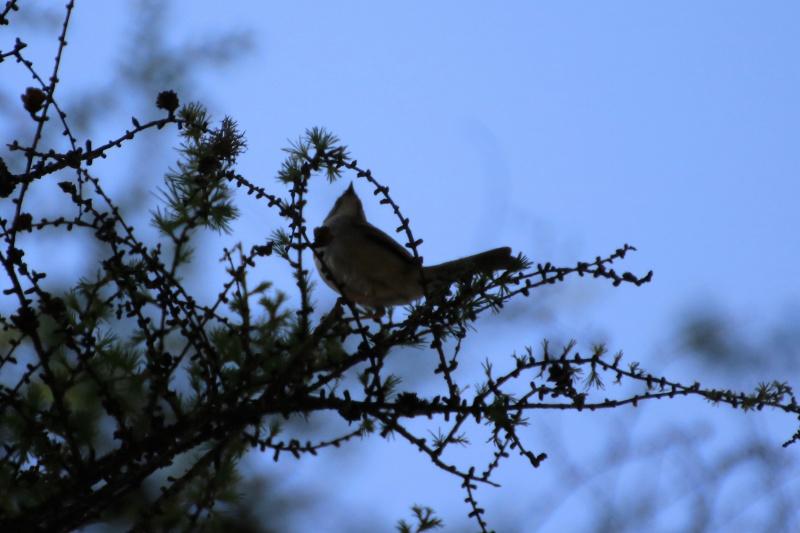 Quelles espèces de parulines ? Oiseau16