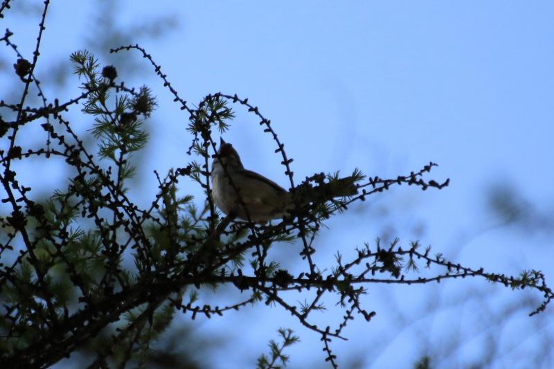 Quelles espèces de parulines ? Oiseau17