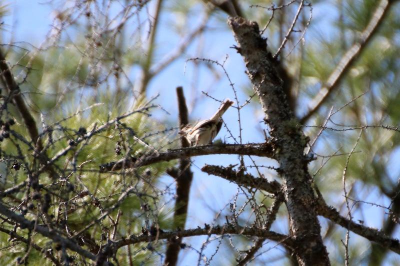 Quelles espèces de parulines ? Oiseau18