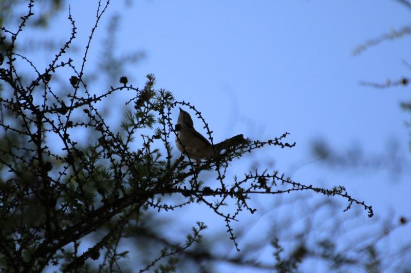 Quelles espèces de parulines ? Oiseau19