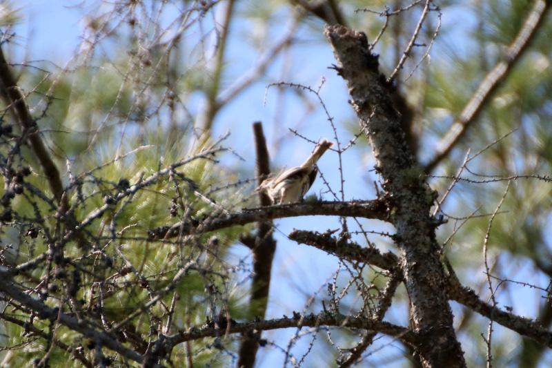Quelles espèces de parulines ? Oiseau20