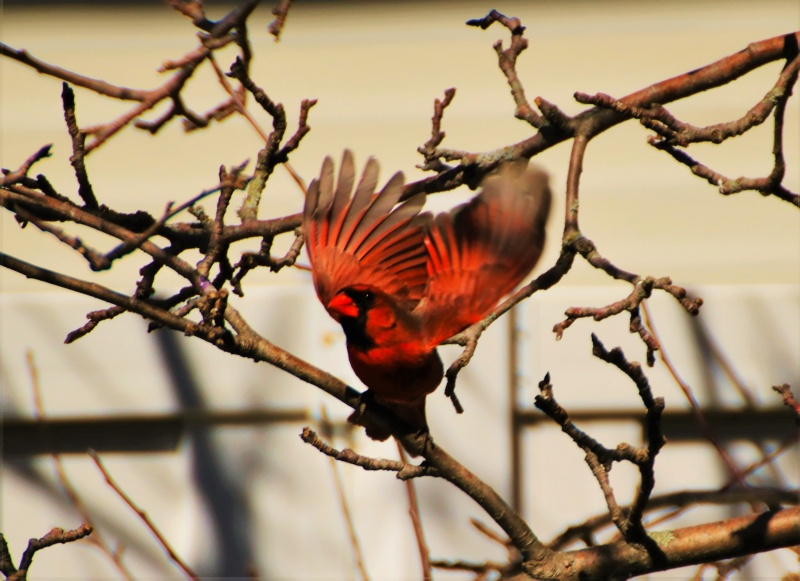 Cardinal rouge Super105