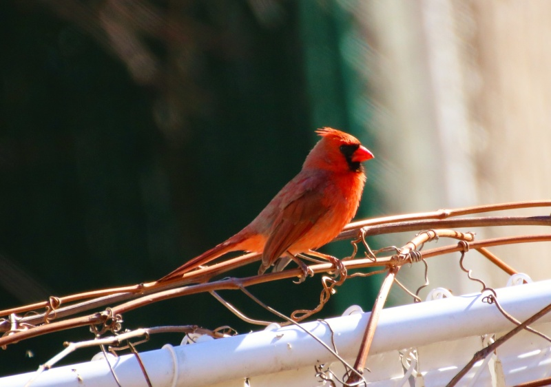 M. Cardinal Super117