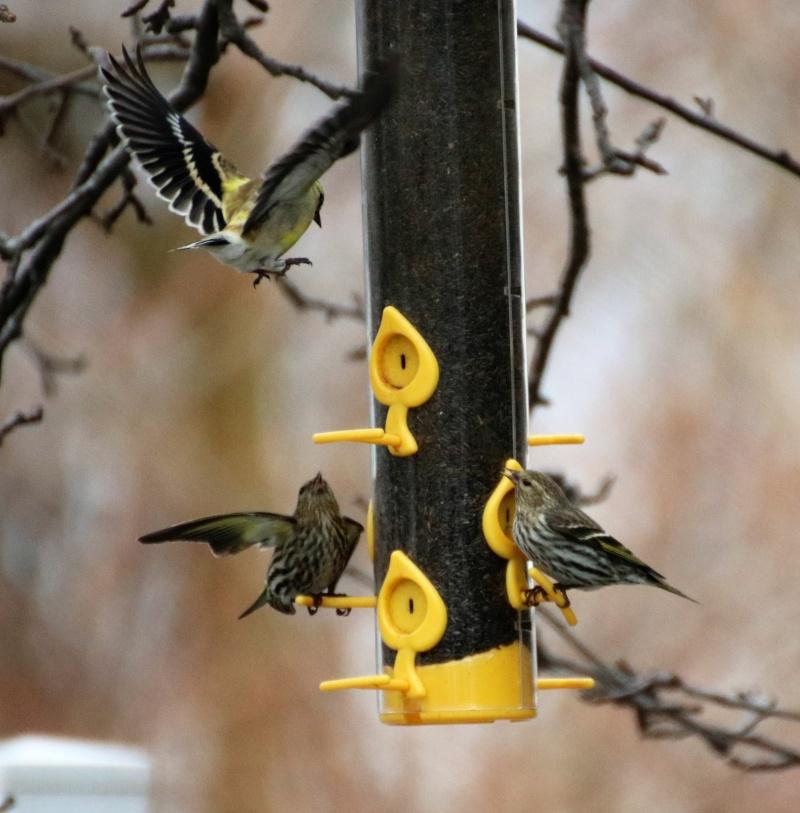 Invasion de tarins des pins Superb33
